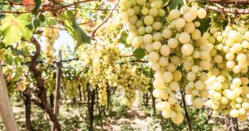 Uva da Tavola Bio da Agricoltura Biologica di Valle Ofanto