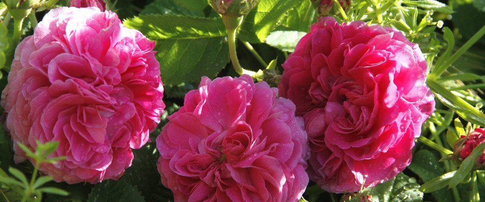 Rosa di Magliano